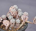 블루빈스1571|Graptopetalum pachyphyllum Bluebean