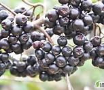 (외목)열매가 주렁주렁~ 아로니아 /슈퍼베리~눈건강에 최고|