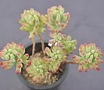 을녀심묵은둥이1595|sedum pachyphyllum