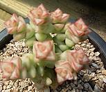 희성금1671|Crassula Rupestris variegata