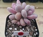 아메치스2두|Graptopetalum amethystinum