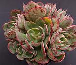 양진(목대) Echeveria yangjin
