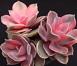 웨스트레인보우(적심) Echeveria rainbow