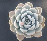 문스톤교 101|Pachyphytum Oviferum Moon Stone