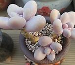 오비포럼 자연군생 짱묵은|Pachyphytum oviferum
