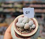 오비포럼2두한몸자연군생611|Pachyphytum oviferum