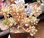 경미인1(묵은둥이) 0423-02|Pachyphytum oviferum cv. Kyobijin