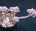베이비핑거(한몸)|Pachyphytum Machucae (baby finger)