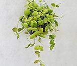[풀장사] 디시디아 넘초크/레어플랜트/공기정화식물/미세먼지제거/새집증후근제거/행잉플랜트|