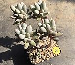 베이비핑거8|Pachyphytum Machucae (baby finger)
