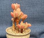 청성미인|Pachyphytum Doctor Cornelius