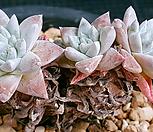 묵은 화이트그리니 Dudleya White gnoma(White greenii / White sprite)