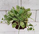 [풀장사]/디시디아 그린 화이트/공기정화식물/행잉플랜트/미세먼지제거/새집증후군제거/익일배송/레어플랜트/제이씨헤르바|
