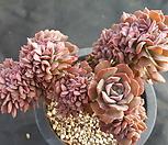홍일산철화 Echeveria bicolor