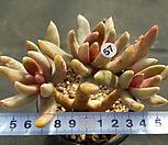 군작|Pachyphytum hookeri