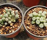 오십령옥[랜덤]m|Fenestraria aurantiaca