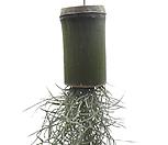 수염틸란드시아(대나무)|