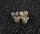 XP1611-Conophytum luckhoffii ARM1052  루코피 4두|
