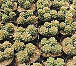 리틀잼[랜덤] X Cremnosedum Little Gem (Crassulaceae)