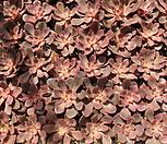 샤비홍[랜덤] Echeveria painted frills