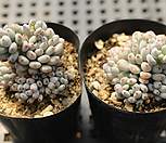 블루빈스[랜덤]|Graptopetalum pachyphyllum Bluebean