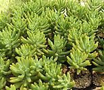 청솔[랜덤] Sedum corynephyllum