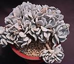 묵은라우톱 Echeveria Exotic