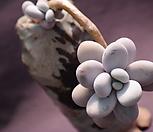 묵은오비포럼 Pachyphytum oviferum