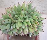 묵은둥이 골드샤찌철화|Echeveria agavoides f.cristata Echeveria