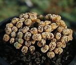 코노피텀(프라터눔)  Conophytum  fraternum|