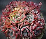 라우렌시스(한몸 )|Echeveria Laulensis