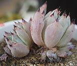 묵은붉은손톱라조야자연군생|Echeveria agavoides Rajoya