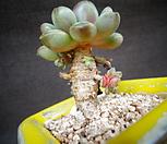 아메트롬|Graptoveria Ametum