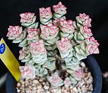 희성금 67|Crassula Rupestris variegata