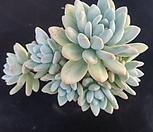 후레뉴 자연군생|Pachyphtum cv Frevel