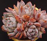 오렌지먼로(적심) Echeveria Monroe(Orange)