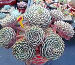 묵은 턱시판 자연군생5-1091 Echeveria tuxpan