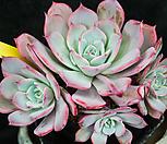 라우렌시스 24|Echeveria Laulensis