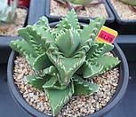 사해파5-1129 Faucaria tigrina
