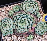 글로블로사 62|Echeveria globulosa
