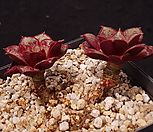 롱기시마벨바라 Echeveria longissima