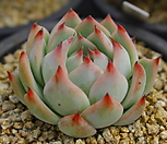 4414. 치와와엔시스|Eeveria chihuahuaensis