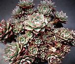 아즈타트랜시스(한몸)|Echeveria longissima var aztatlensis