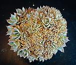 양로철화25| Echeveria peacockii subsessilis