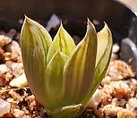 하월시아금자구번식|haworthia