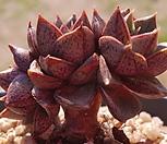 홍대화금목대|Echeveria purpusorum