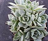 *천원*블루에뜨(8두적심한몸) 05252 Echeveria peacockckii bluete