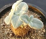 단애의여왕|Rechsteineria leucotricha
