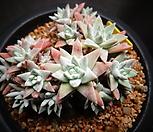 화이트그리니한몸(적심)|Dudleya White gnoma(White greenii / White sprite)