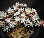 화이트그리니(한몸)적심|Dudleya White gnoma(White greenii / White sprite)